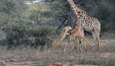 Sư tử tung người lên không trung đoạt mạng hươu cao cổ con