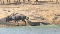 Hà mã 'nghĩa hiệp' cứu linh dương đầu bò khỏi cá sấu