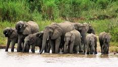 Chiến thuật qua sông của đàn voi khiến cá sấu 'ngậm ngùi'