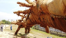 Lộ chiêu qua mặt CSGT của các tài xế chở cây 'khủng'