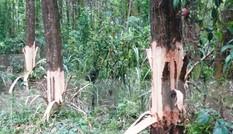 Bí thư Đảng ủy kiêm Chủ tịch UBND xã lén chặt phá rừng của dân?