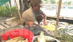 Kinh hoàng 60 tấn cá sắp thu hoạch chết trắng lồng