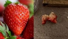 Vật khủng khiếp trong quả dâu mua ở siêu thị, khiến cô bé 6 tuổi vừa ăn đã phải đi cấp cứu