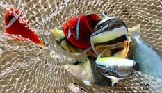 Độc lạ bể cá cảnh biển hái tiền tỷ của chàng kỹ sư viễn thông Lý Sơn