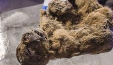 'Hồi sinh' sư tử từ xác ướp vạn năm dưới băng tuyết