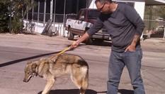 Hy hữu chuyện chó nhà nuôi vài năm hóa... chó sói