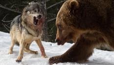 Gấu nâu liều chết đối đầu sói dữ để tranh ăn