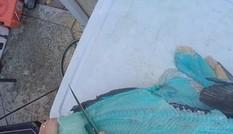 Lọc cá, ngã ngửa vì thịt có màu xanh