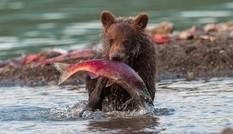 Cận cảnh màn săn cá hồi ngoạn mục của gấu xám