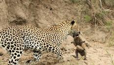 Báo hoa mai dạy con săn mồi như thế nào?