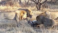 Hãi hùng cảnh đàn sư tử xé xác đồng loại để ăn thịt