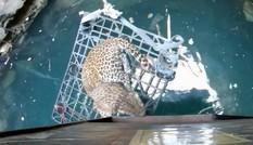 Giải cứu báo hoang sắp chết đuối dưới giếng sâu 15 mét