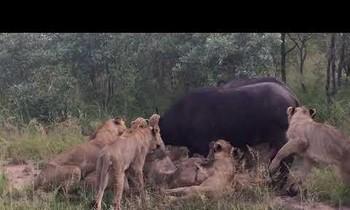 Trâu rừng bất lực nhìn đàn sư tử ăn thịt đồng đội