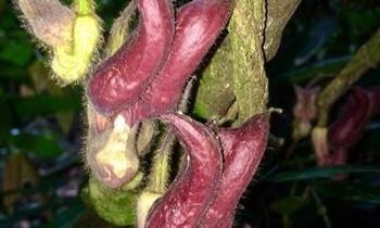 Phát hiện loài thực vật kỳ dị tại Vườn Quốc gia Vũ Quang