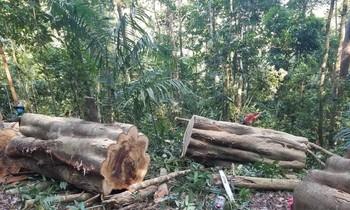 Hiện trường cây gỗ Gõ bị cắt xẻ trong rừng
