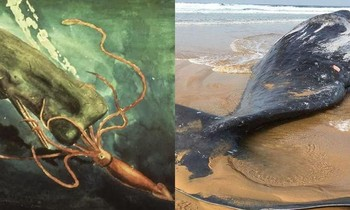Discovering whales washed ashore, experts say a war with giant squid