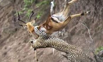 Cheetah hunts antelope.