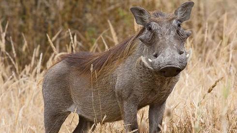 Thổ dân Mozambique có tuyệt chiêu gì để bắt lợn rừng?
