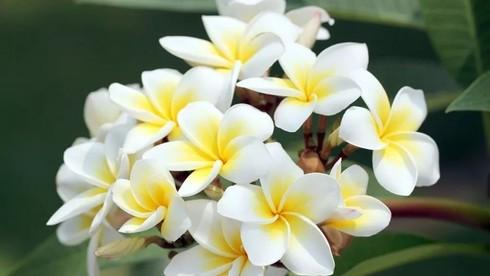 Hoa Chăm Pa - Quốc hoa của Lào nở vào tháng mấy?