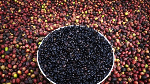 Tỉnh nào sau đây của Ethiopia chính là vùng đất khởi nguyên của cây cà phê?