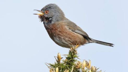 """Ở quốc gia nào ngày """"Cá tháng tư"""" trùng với tên một loài chim?"""