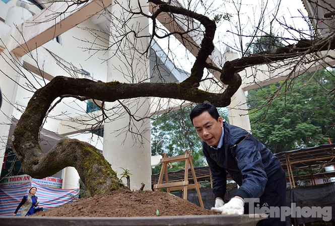 Một cây đào phai hơn 70 năm tuổi cực quý vừa được chở từ Tây Bắc xuống Hà Nội để tham dự hội chợ.