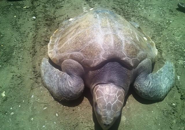 Cá thể rùa biển này có trọng lượng 20kg dính lưới ngư dân và nó cũng đã được thả về biển ngay sau đó.