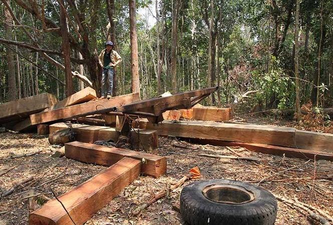 Một vụ phá rừng qui mô lớn trên địa bàn huyện Krông Pa