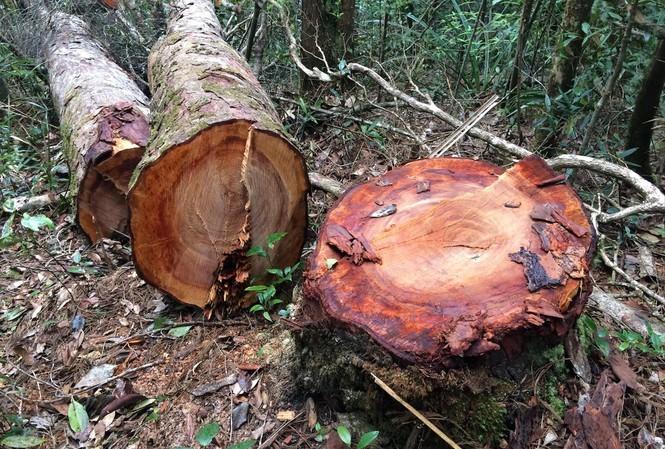 Hiện trường một vụ khai thác lâm sản trái phép trên địa bàn huyện Kon Plông