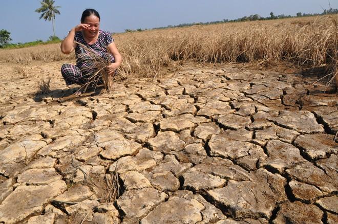 Bà Châu Ngọc Điệp bật khóc trên cánh đồng lúa chết khô. Ảnh: Hồng Lĩnh.