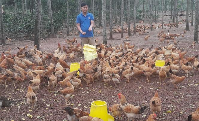 Trần Hữu Đức với đàn gà thả vườn.