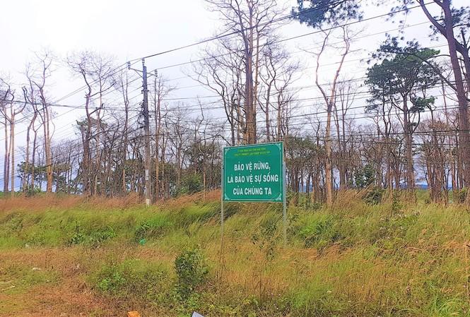 Rừng thông dọc Quốc lộ 28 (đoạn qua huyện Đắk G'long) bị đầu độc