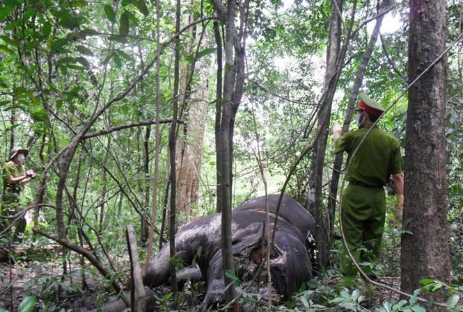 Con voi đực bị lấy mất một phần xương mặt