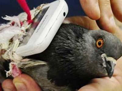 Gửi điện thoại vào tù cho bạn trai bằng… chim bồ câu