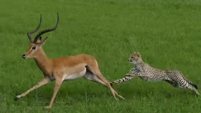 Miếng ăn đến miệng, báo cheetah vẫn bỏ lỡ đáng tiếc