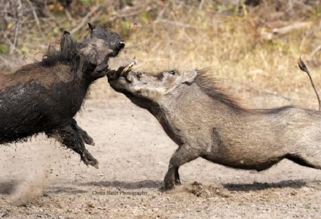 Trận đánh quyết liệt giữa hai con lợn lòi đực
