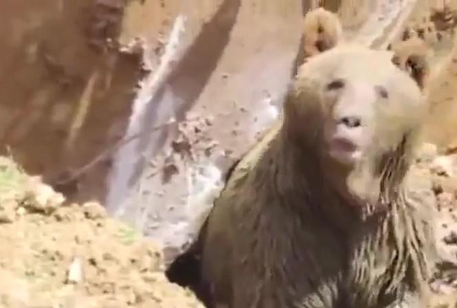Con gấu nâu bò ra khỏi ổ sau khi bị chiếc máy khoan quấy rầy.