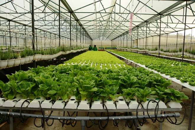 Thành phố Hà Nội khẳng định sẽ tháo gỡ khó khăn để thúc đẩy việc tiêu thụ sản phẩm rau sạch của nông dân - Ảnh: Minh họa