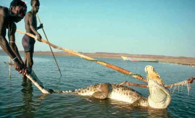 Săn lùng cá sấu để ăn thịt.