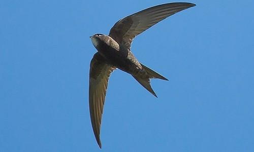 Loài yến thông thường có thể bay liên tục trong 10 tháng không cần đậu. Ảnh: Scyrene.