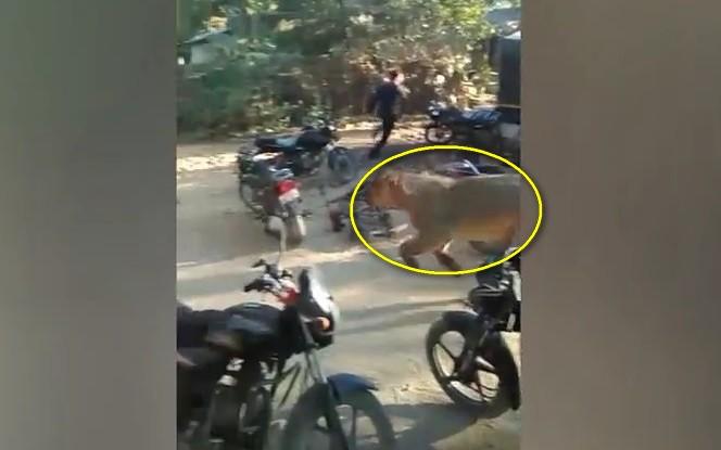 Video: Sư tử xông thẳng vào làng, đám đông kinh hãi bỏ chạy