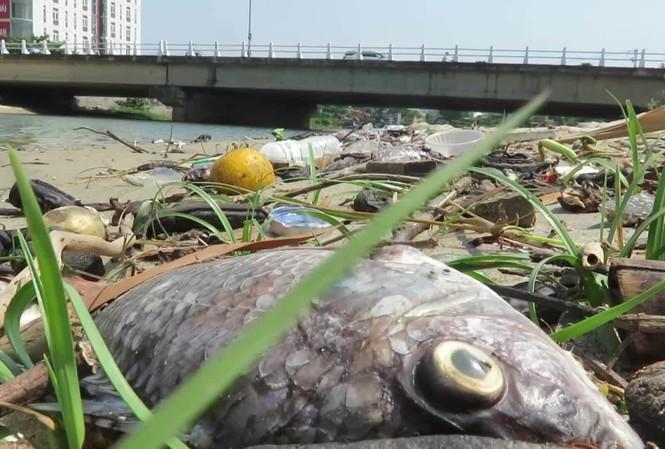 Cá chết dọc tuyến kênh Phú Lộc, Đà Nẵng