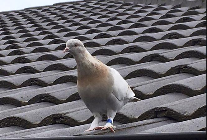 Chú chim bồ câu được đặt tên là Joe. (Ảnh: AP)