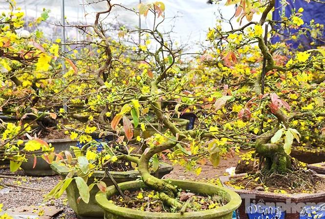 Trước Tết, mai vàng tại Bình Định đã tất bật vào vụ thu hoạch. Chủ vườn vặt hết lá, bán cho thương lái đưa đi khắp các tỉnh thành trong cả nước, phục vụ nhu cầu chơi mai xuân dịp Tết Bính Thân sắp tới.