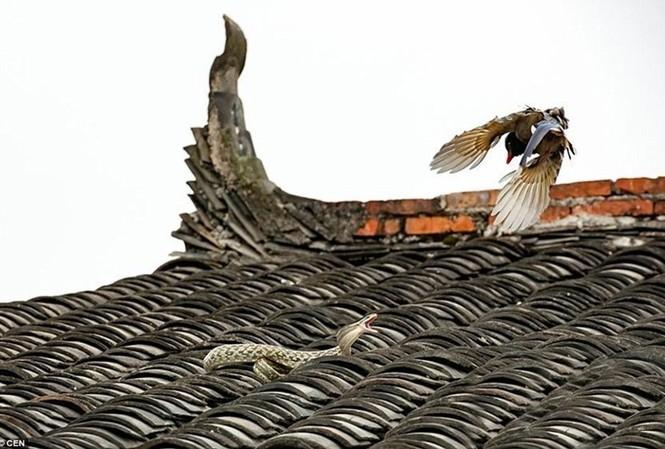 """Cuộc chiến ngoạn mục giữ hai """"cao thủ"""" trên mái nhà. Nguồn: Sina"""