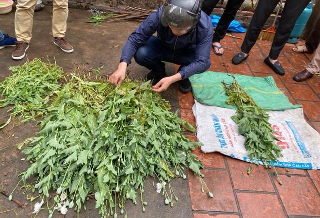 Người đàn ông trồng hơn 300 cây thuốc phiện cao gần 1 mét trong vườn tại Hà Nội - ảnh 1