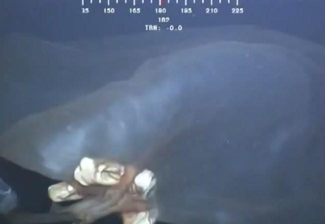 Con sứa nhau thai được phát hiện ở Vịnh Mexico. (Nguồn: YouTube)