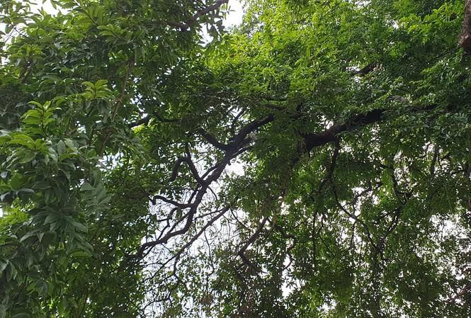 Cây thị hơn 900 tuổi được công nhận cây di sản