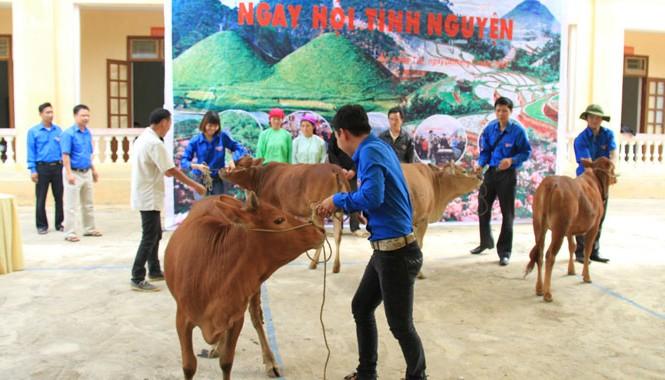Các đoàn viên, thanh niên phải rất khó khăn mới đưa được bò lên sân khấu để chụp lại khoảnh khắc trao tặng cho người nghèo. Ảnh: Trường Phong
