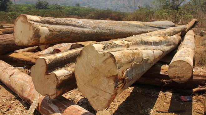 Hiện trường gỗ lậu ở xã  Quảng Sơn